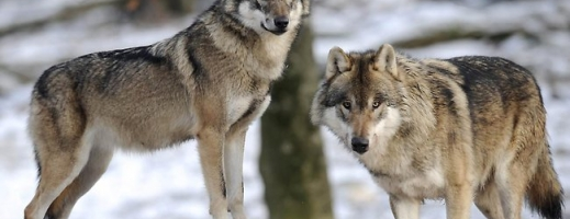 STUDIU: Primii câini, provenind din lupii străvechi, au apărut în Europa