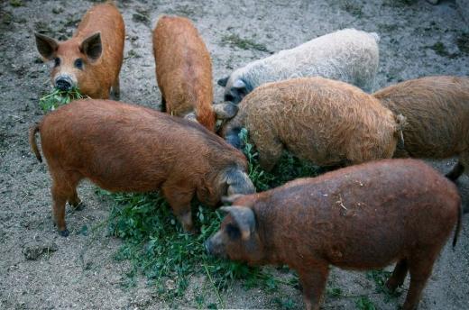 (P) Produse tradiționale și expoziție de animale la Festivalul Mangalița