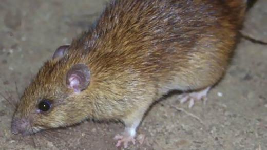 Șobolanii au invadat curțile clujenilor
