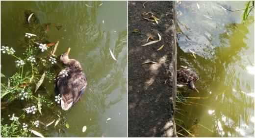 Zeci de rațe găsite moarte la Lacul Gheorgheni!
