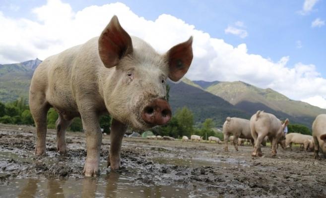 Pesta Porcină Africană bate la poarta Clujului! Focare de infecție în jurul județului