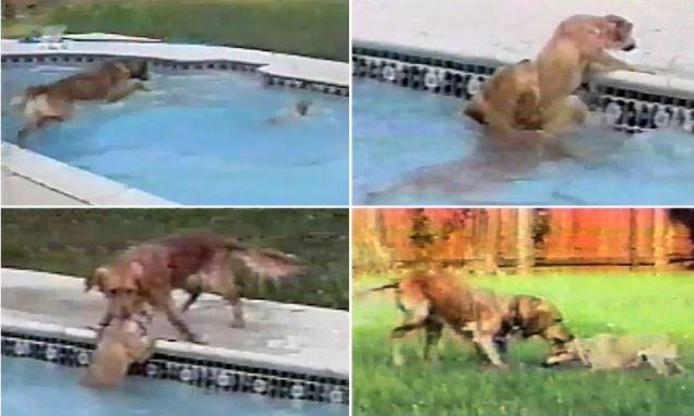 Un câine își salvează puiul de la înec