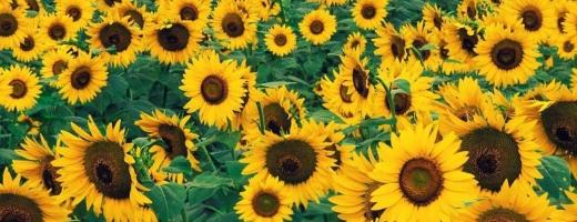 România a ajuns pentru prima dată pe locul întâi la producţia de floarea-soarelui în UE