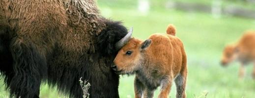 Primii bizoni americani, exportaţi din Transilvania