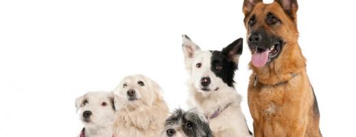 ANSVSA: Proprietarii câinilor care nu sunt rasă trebuie să-i ducă la sterilizat