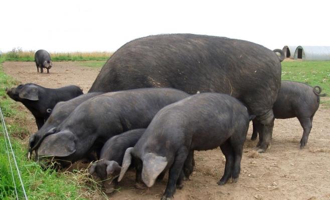 11 Martie Wikipedia: Mascaţii Au Recuperat 11 Porci Furaţi De Un Bărbat Din Cojocna