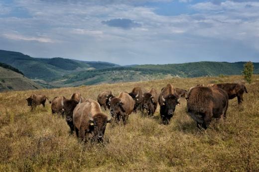 Ferma de bizoni din Recea Cristur