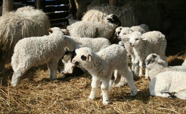 Amenzi şi sute de kilograme de carne confiscate în Cluj de inspectorii sanitar-veterinari