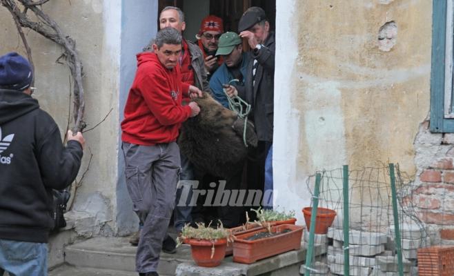 Un pui de urs se plimba nestingherit prin Sibiu. Animalul a fost tranchilizat şi dus la Zărneşti