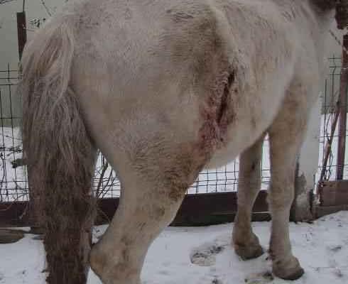 Calul Apple a fost salvat de la moarte după ce stăpânul l-a înjunghiat și abandonat în ger