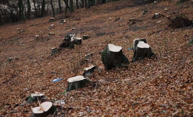 Trei pădurari din Cluj, reţinuţi pentru defrişări ilegale. Prejudiciului se ridică la 250.000 euro.