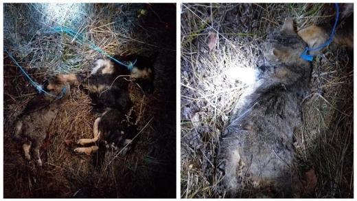 REVOLTĂTOR Imagini ȘOCANTE la Feleacu! Animale brutalizate cu lațul, chinuite până la moarte