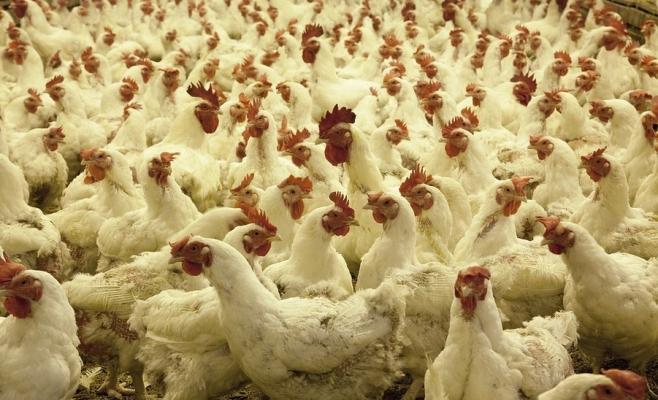 """Mii de păsări afectate de virusul gripei aviare: """"Rugăm populația să nu intre în panică!"""", sursă foto: hotnews.ro"""
