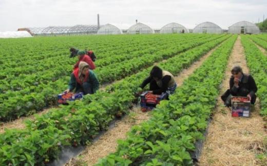 Un charter plin de români va ateriza în Marea Britanie petru a munci în fermele englezești