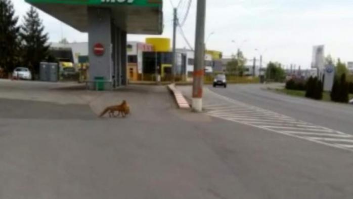 Un echipaj de poliție a surprins o vulpe care furase o găină traversând neregulamentar strada. Captură video directmm.ro