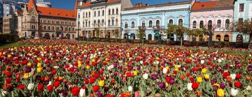 """A venit Olanda în Transilvania, Clujul este capitala lalelelor! """"Le admirăm din carantină!"""", oftează clujenii. FOTO, sursă foto: Facebook Emil Boc"""