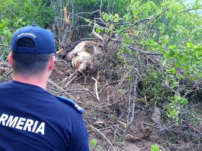 Ursoaică cu doi pui, salvată de jandarmi. A rămas agățată într-un gard de sârmă! VIDEO, sursă foto/video: IJJ Bistrița-Năsăud