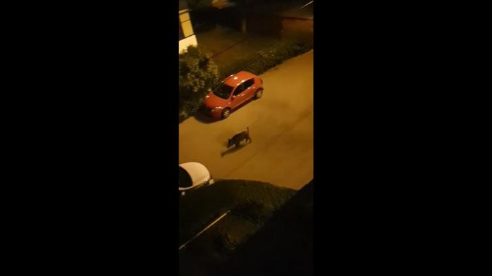 VIDEO. Mistreț filmat într-un cartier din Cluj