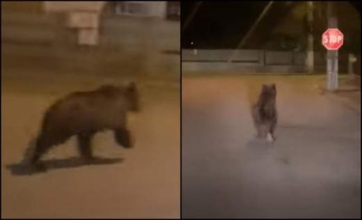 Ce s-a întâmplat cu ursul care a fost văzut în Câmpia Turzii? Răspunsul autorităților