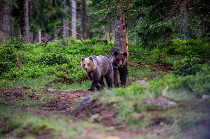 Un urs dă târcoale în Săndulești