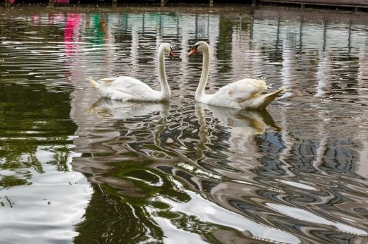 Lebedele s-au întors pe Lacul Chios din Parcul Central