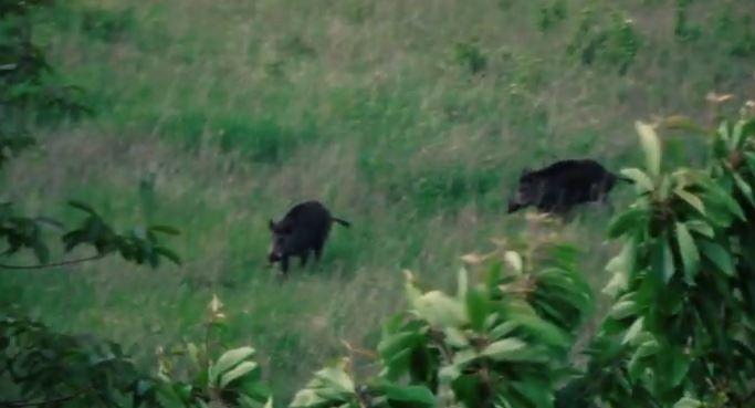Porci mistreți văzuți în cartierul Bună Ziua din Cluj-Napoca