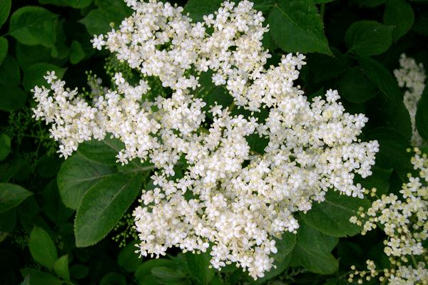 Dulceață din flori de soc: cum să faci o dulceață inedită, pe placul tuturor