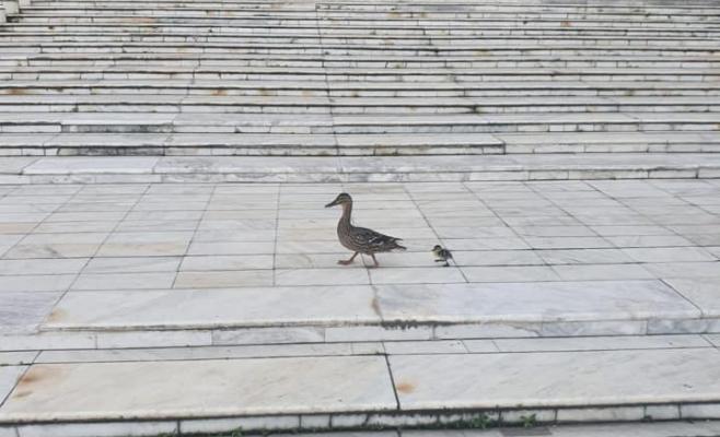 O rață și un boboc au fost surprinse pe scările Teatrului Național din Cluj