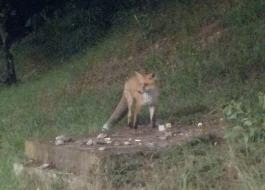 Vulpiță, surprinsă în Mănăștur. E drăguță, dar nu vă apropiați de ea! FOTO/VIDEO