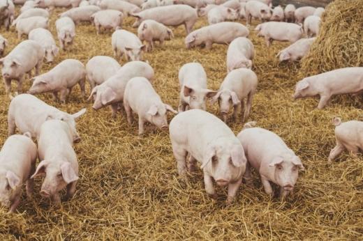 Pesta porcină afectează România! Clujul pe lista județelor în care s-au înregistrat infectări