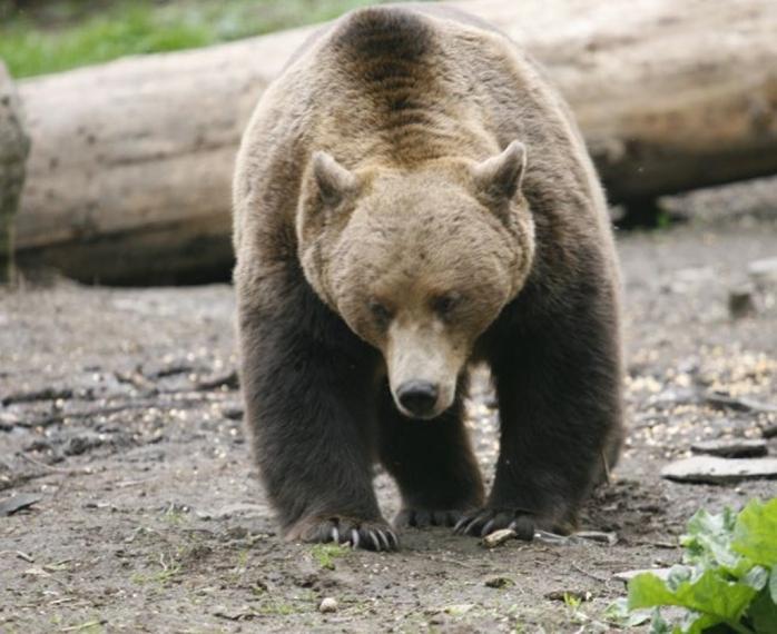 un-urs-a-fost-omorat-de-o-femeie-dupa-ce-a-incercat-sa-ajunga-la-pasarile-din-curte