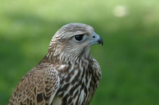 Falconeria, vânătoarea cu păsări de pradă pe cale de dispariție, s-ar putea legaliza în România