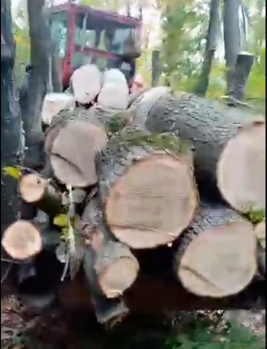 """Tăieri ilegale de copaci în pădurea Hoia-Baciu! Un """"plâmân verde"""" al Clujului dispare încet, dar sigur.FOTO/VIDEO"""
