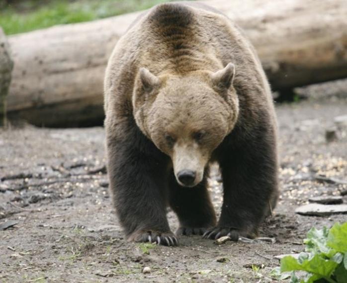 Un urs care dădea târcoale unei stâni de oi a atacat ciobanul care le păștea