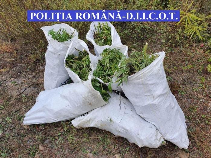 Captură impresionantă de droguri a DIICOT Cluj. Peste 140 de kilograme de cannabis au fost confiscate - VIDEO