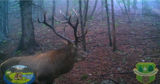 VIDEO incredibil, surprins în Pădurile Brașovului. Doi cerbi se duelează, într-un spectacol de grație