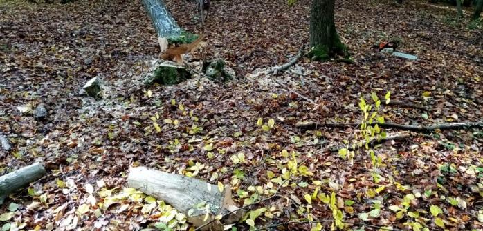 Câți arbori lipsesc din Pădurea Hoia-Baciu, în zona în care se aflau ieri tăietorii de lemne? 100 de trunchiuri, fără marcaj silvic. FOTO/VIDEO