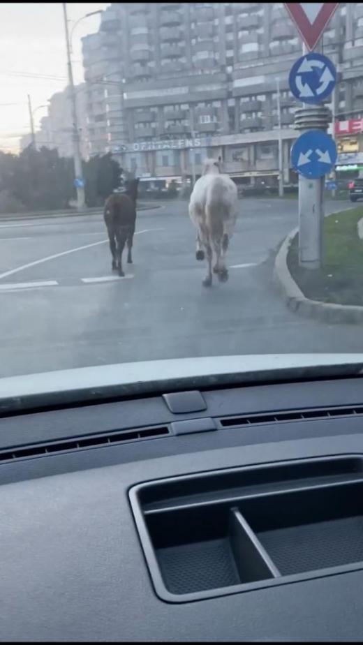 VIDEO. Doi cai aleargă printre mașini în cartierul Mărăști din Cluj-Napoca
