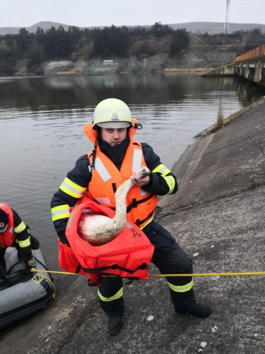O lebădă prinsă în gunoaie la Barajul Florești, salvată de la moarte