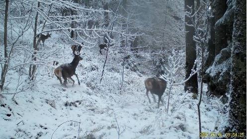 VIDEO. Ciute și un cerb se joacă în zăpadă în Munții Apuseni. Imagini senzaționale surprinse de camerele video