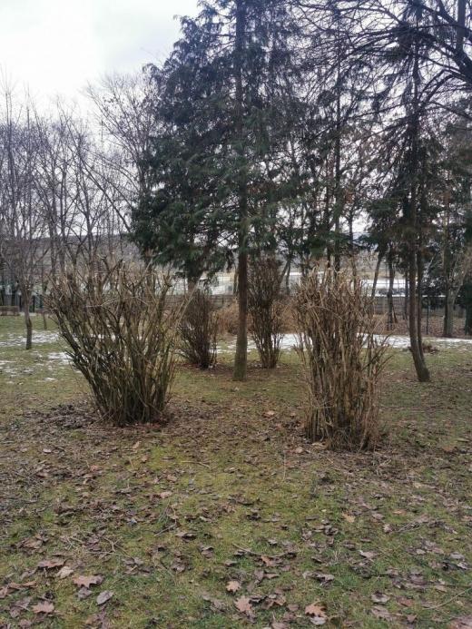 """FOTO. Arbuștii din Parcul Detunata, """"mutilați"""" cu drujba: """"Toaletări barbare, fără sens. Rezultatul: NU mai produc flori"""""""