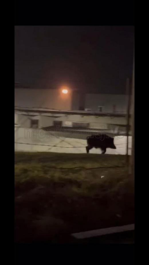 VIDEO. Porc mistreț uriaș, filmat în zona VIVO (POLUS) din Cluj-Napoca