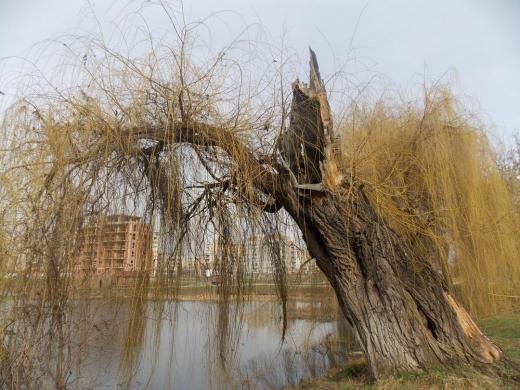"""""""Exces de zel"""" în Parcul Est. Copac bătrân de zeci de ani, """"ciopârțit"""". Biolog: """"Nu recomand entuziasmul în utilizarea drujbei"""""""