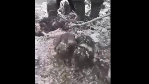 VIDEO. Patru pui de urși au fost scoși din bârlog de niște muncitori inconștienți