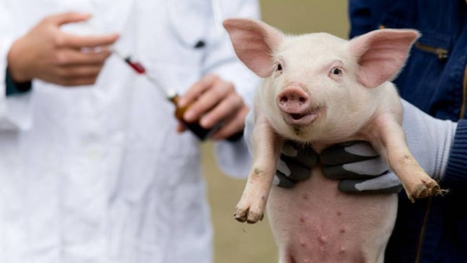 Zeci de FOCARE de pestă porcină afircană înregistrate la Cluj