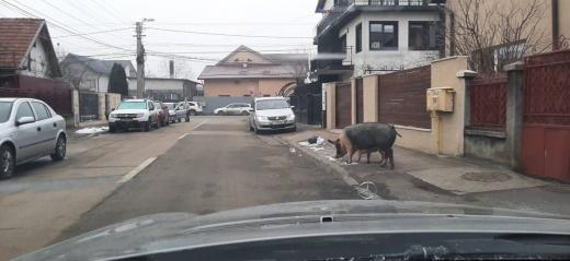 Doi porci pe străzile din Cluj-Napoca