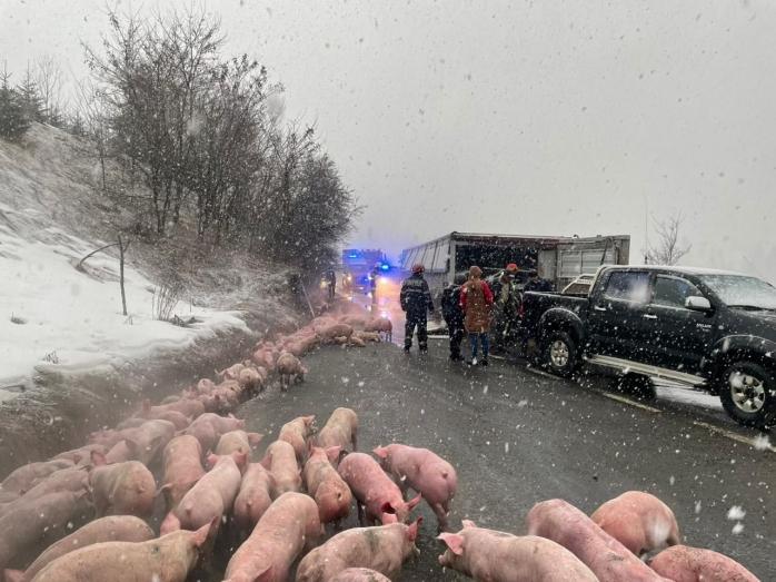 TIR încărcat cu PESTE 600 de porci