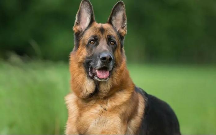 Câini, dresați pentru depistarea infecției cu COVID. Animalele au recunoscut 100% din probe