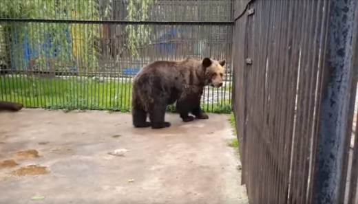 """Una dintre cele mai bătrâne ursoaice din țară, liberă după 38 de ani. """"Nu a văzut cerul fără gratii"""""""