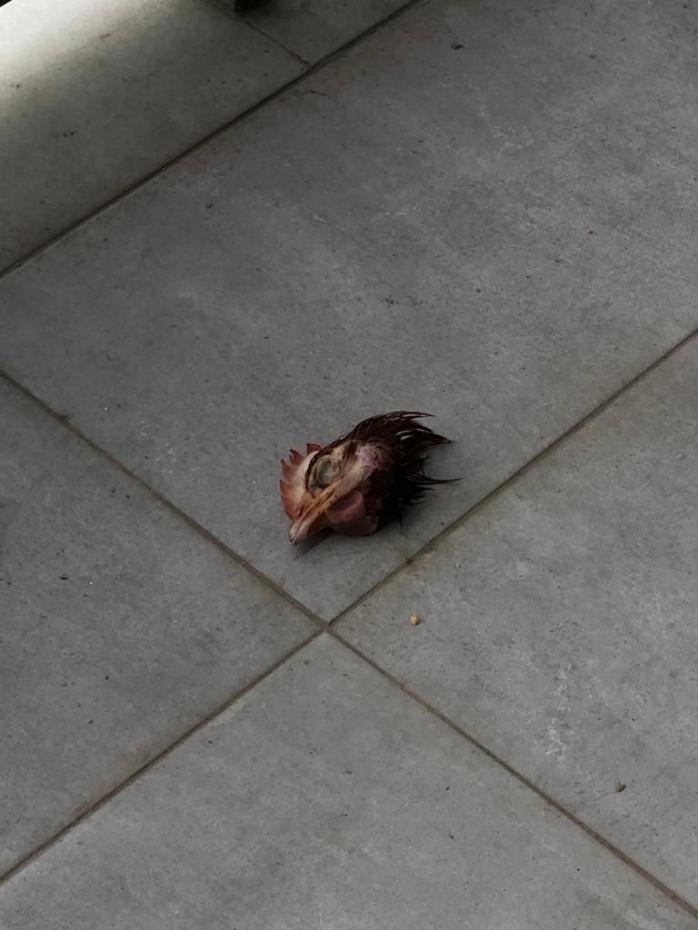 Cap de găină moartă, aruncat pe terasele unor clujeni. Locuitorii, TERORIZAȚI de nevoiașii din locuințele sociale ale Primăriei.